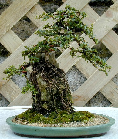 Bonsa cr ation fiche d 39 entretien du coton aster - Comment faire un bonsai ...