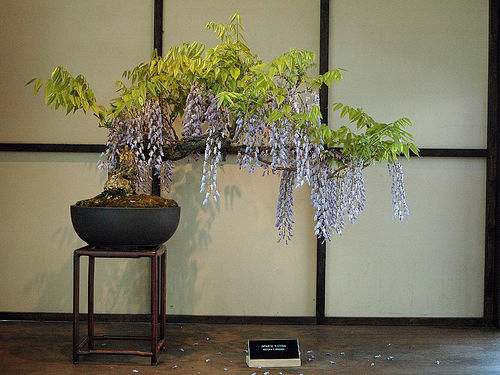 bonsa cr ation fiche d 39 entretien du glycine wisteria. Black Bedroom Furniture Sets. Home Design Ideas