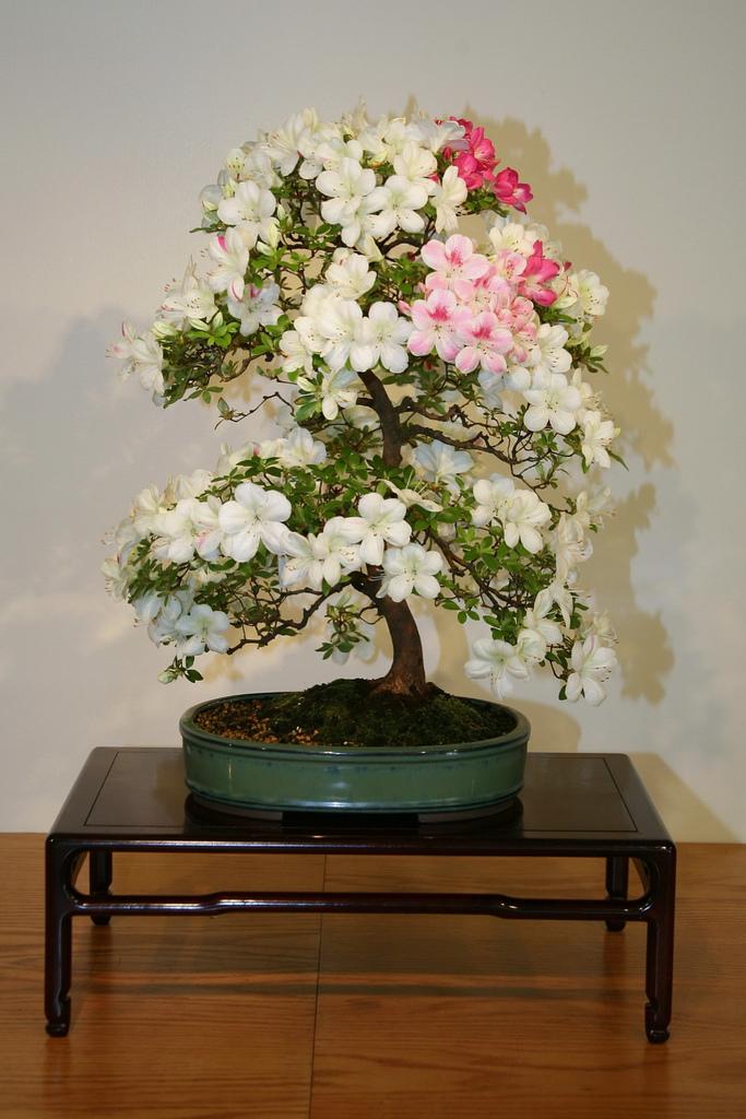 bonsa cr ation fiche d 39 entretien du azal e rhododendron indicum. Black Bedroom Furniture Sets. Home Design Ideas